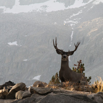 Deer in LeConte Canyon photo: Davey McCoy