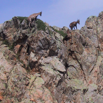 Chamois traverse the ridge in the Aiguille Rouge.