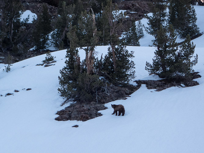 Bear near Little McGee Lake