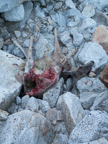 Deer killed by flash flood in the approach slabs